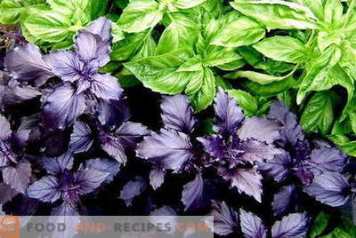 Basil - description, properties, use in cooking. Recipes with basil.