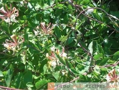 Honeysuckle: useful properties and contraindications