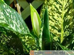 Dieffenbachia: Benefit and Harm