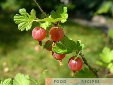 Gooseberry: useful properties and contraindications