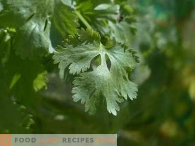 Cilantro: health benefits and harm