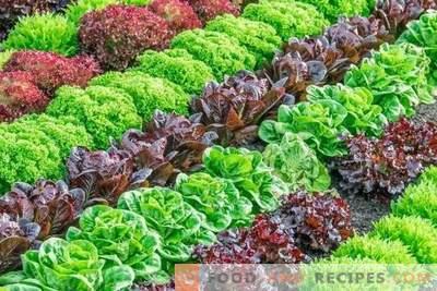 Variedades de lechuga para cultivo en primavera, verano y otoño